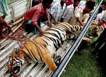 L 39 ultimo ruggito di tigri e leoni tra15 anni non ci for Immagini tigre da colorare