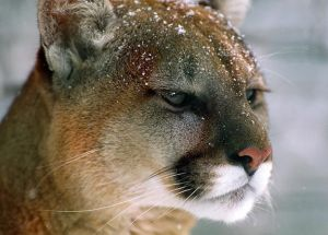 Puma-orientale-estinto